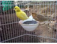 Cage Nest & Pair Singing Canaries