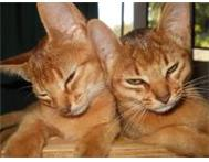 Abyssinian Kittens For Sale Westville