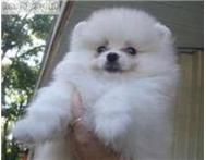 cute and lovely Pomeranian puppies ...