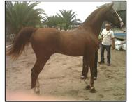 Registered American Saddler Stallion Sylwins Bullet