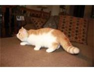 Persian and Exotic Shorthair Cape Town