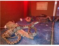 5 SNAKES TO SWAP FOR IGUANA S OR BE...
