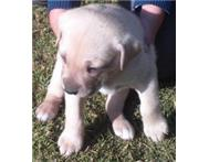 boerboel crossed labrador puppies