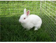 Rabbits for sale - various ages and types