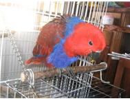 Eclectus Red Sided Female 3 Months ...