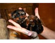Quality micro teacup and teacup yorkies. Johannesburg