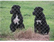 black boerboels for sale