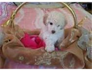 French Poodle puppy s