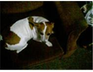 Jack russel male look inside please Uitenhage