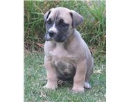BoerBull pups for sale