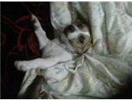 Wanted Urgently female jack russel Dbn