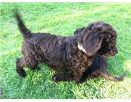 Male & Female Purebred Poodle in Dogs & Puppies For Sale Gauteng Bryanston - South Africa