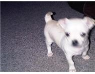 Female Pedigree Chihuahua in Dogs & Puppies For Sale Western Cape Hartenbos - South Africa