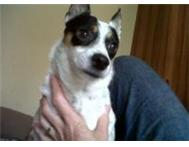 Wanted: White and black female Jack Russel Terrier lost in Bloemfontein BLOEMFONTEINT