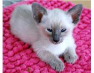 Siamese kittens ready for their forever homes now