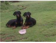 DOBERMAN PUPS FOR SALE LARGE
