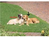 Boerboel x Labrador; Good w/Kids