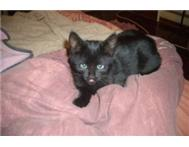 8 Week old Smokey-black girly kitty needs a home!