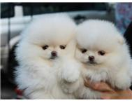 Adorable Pomeranian Puppies available for Lovely Homes.