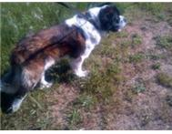 ST BERNARD KUSA REGISTERED 18 MONTH OLD MALE