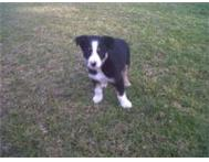 Border Collies Puppies Available. Western Cape