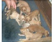 Well Trained Afghan Hound Puppies For Sale.