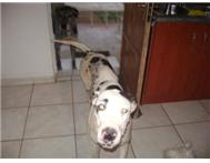 Great Dane - Harlequin with Blue Ey...