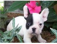 Outstanding French Bulldogs Ans English Bulldog Puppies For Sale Johannesburg South