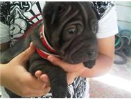 Chinese Shar-Pei Puppy