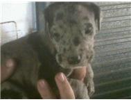 Great Dane puppies for sale - Blue eyes