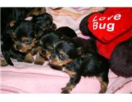 Pocket Size Yorkshire Terrier puppies