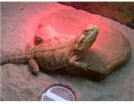 Female Bearded Dragon for sale Johannesburg