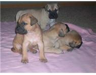 Male & Female Purebred Bullmastiff in Dogs & Puppies For Sale Northern Cape Postmasburg - South Africa