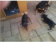 Doberman Pinscher (Miniature) Puppi...