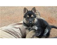 GERMAN SHEPHERD (ALSATION) PUP S FOR SALE