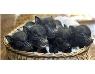 Super Micro Piglets - Adorable - Smart Pets.