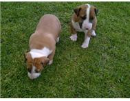 BULL TERRIER PUPPIES Emalahleni