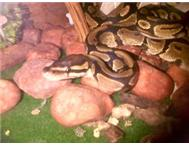 BALL PYTHONS MALE AND FEMALE