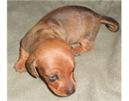 Miniature Dachshund (Worshondjies) Puppy for sale
