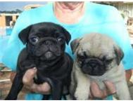 KUSA registered Pure bred Pug Puppies klapmuts klapmuts western cape