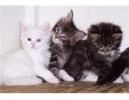 TWO BEAUTIFUL MAINE COON KITTEN READY TO GO ASAP