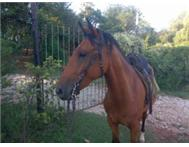 Children s/adult horse for sale