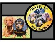 Miniature Dachshunds & Dapples Gauteng