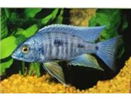 Malawi Fish (Electric Blue Ahli) Cichlid