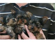 Yorkies Standard / Miniture and Tea cup size