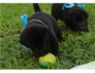 Great dane x Chow puppies Empangeni