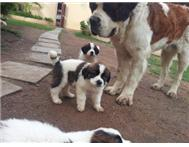 Saint Bernard puppies - 2 Females