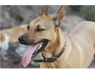 Handsome Ridgeback / Africanus looking for a new home