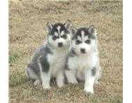 Blues Eyes Siberian Husky Puppies For Sale