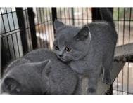 British Shorthair Female Kitten